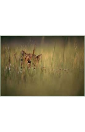 Concord Global National Geographic Photographic Cheetah In Grass Rug