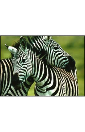 Concord Global National Geographic Photographic Zebra Rug